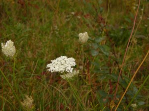 Queen Anne's Lace in the field